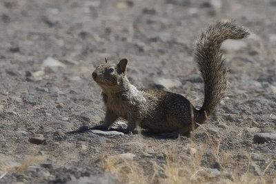 Californische grondeekhoorn verjaagt slang