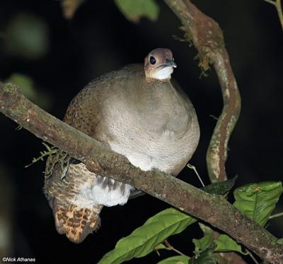 mannetje tinamoe voedt ook pleegkinderen op