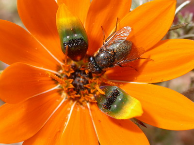 Madeliefje Gorteria diffusa bootst vlieg na