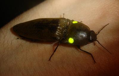 Kakkerlak doet giftige kniptor Pyrophorus na