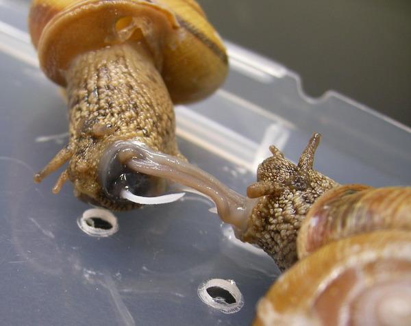 hoe hebben slakken seks