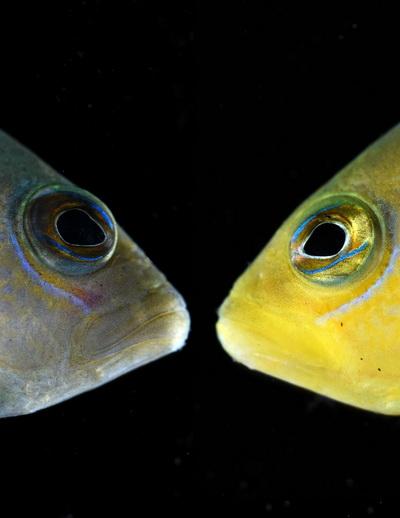 Dwergzeebaars neemt verschillende kleuren aan