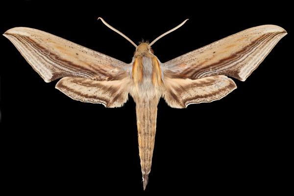 Mot Xylophanes falco ontsnapt aan jagende vleermuis