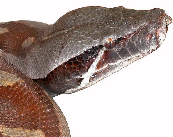 Wurgslangen als bloedpython ontstonden later dan gifslangen