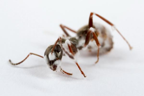 Formica fusca bezweken aan schimmelziekte