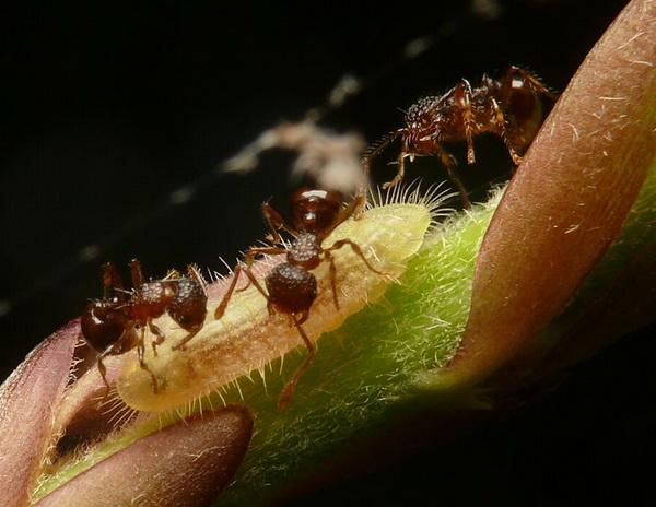 Rups van Japans eikeblauwtje laat zich verzorgen door mieren