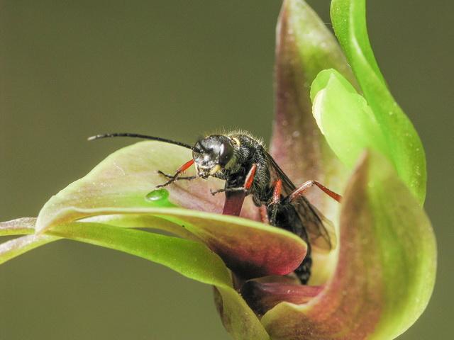Grote vogelorchidee met Neozeleboria monticola