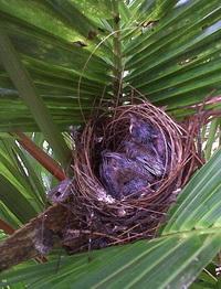 jonge roodoorbuulbuuls in het nest