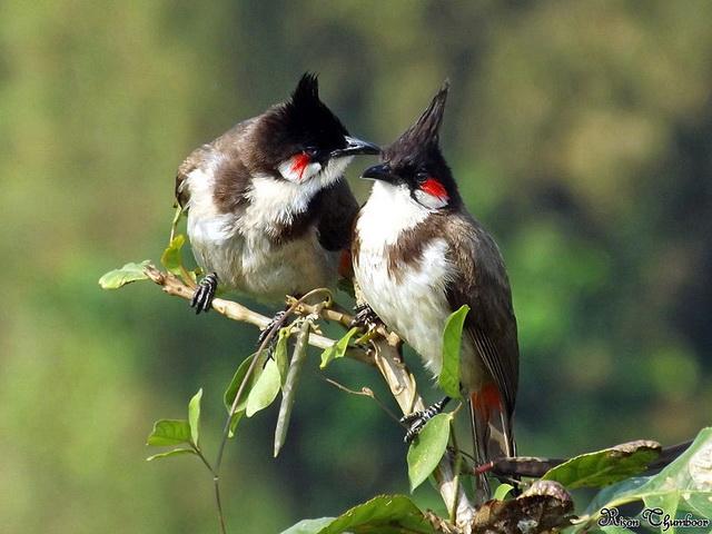 Roodoorbuulbuuls houden hun nest schoon