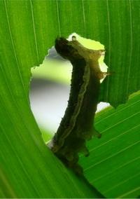 Rups van Spodoptera frugiperda