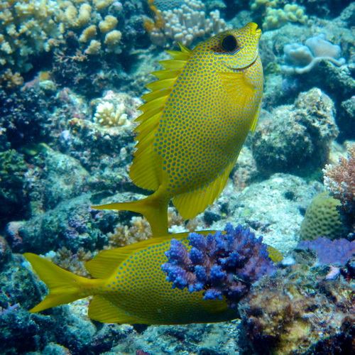 konijnvis Sigalus corallinus foerageert met een partner