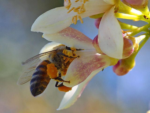 bij bezoekt bloem met cafeïne in de nectar