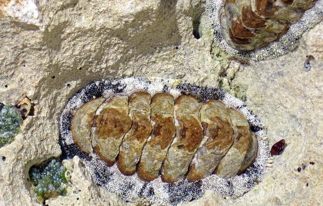 keverslak Acanthopleura granulata heeft honderden oogjes