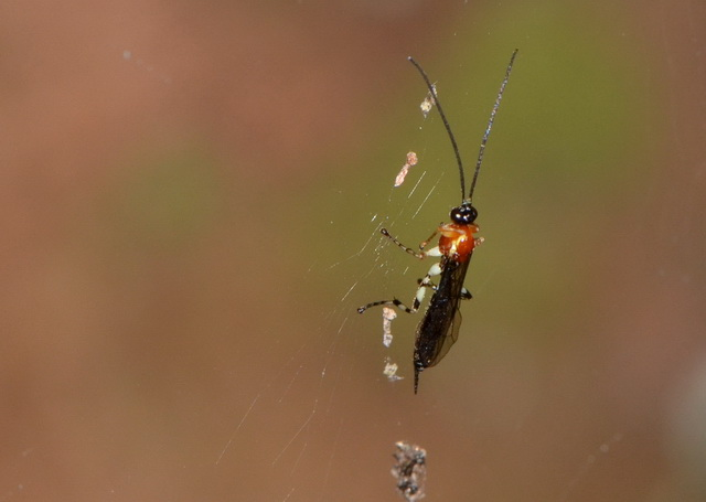 Sluipwesp Polysphincta janzeni op het web van het slachtoffer