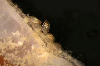 Cyprislarven van Scalpellum scalpellum hechten zich aan een soortgenoot