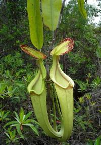 Nepenthes rafflesiana vangt vooral vliegende insecten