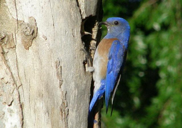 mannetje blauwkeelsialia bij nest