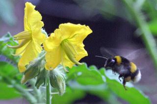 Aardhommel bezoekt Solanum rostratum