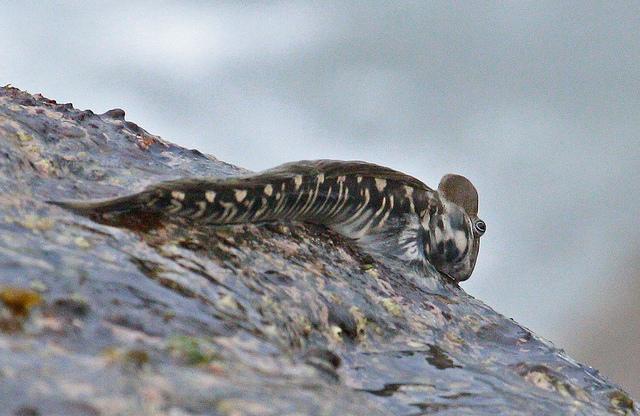 Naakte slijmvis Alticus monochrus is langdurig op het land