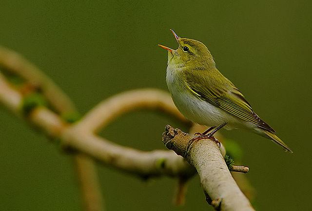 zangvogels verlieten Australie via Wallacea