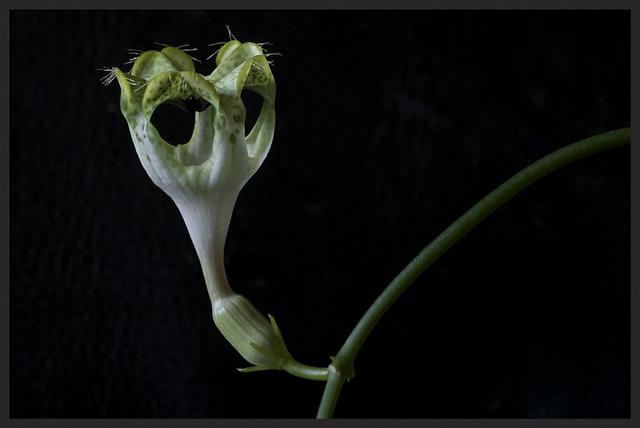 bloem van Afrikaanse parachuteplant is een vliegenval