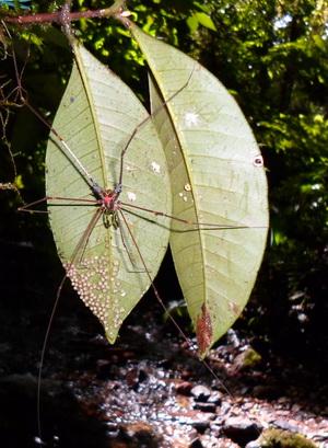 Mannetje Serracutisoma proximum bewaakt eitjes