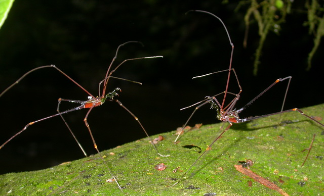 Serracutisoma proximum mannetjes vechten om een territorium