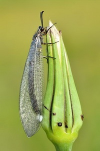 adult antlion is a winged insect