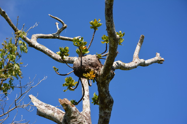Squamellaria major, door mieren gekweekt, op macaranga
