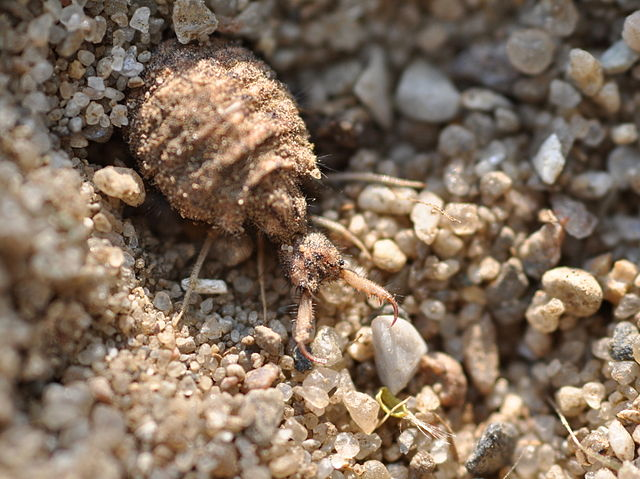 Larve van mierenleeuw graaft valkuil