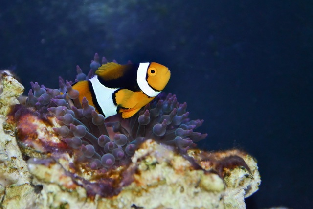 shy clownfish is better partner