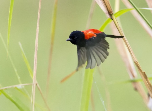 in red-backed fairy-wrens old and bright males seek extra-pair matings