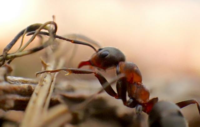 Formica paralugubris maakt krachtig middel tegen schimmel