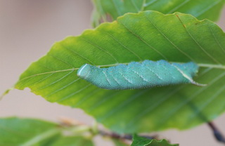 caterpillars od walnut sphinx can make whistling sounds