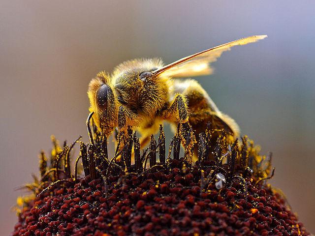 Honingbij snel weer schoon na bloembezoek