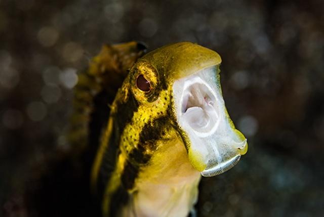 Fangblenny Petroscirtes breviceps mimics a venomous species