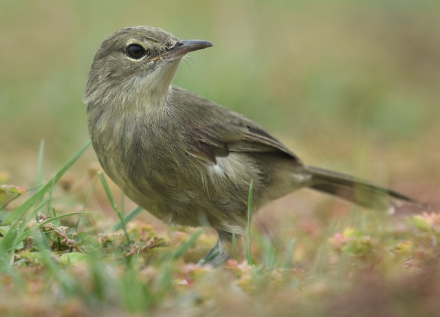 Seychelles warbler on the ground runs a risk of becoming entangled in seeds