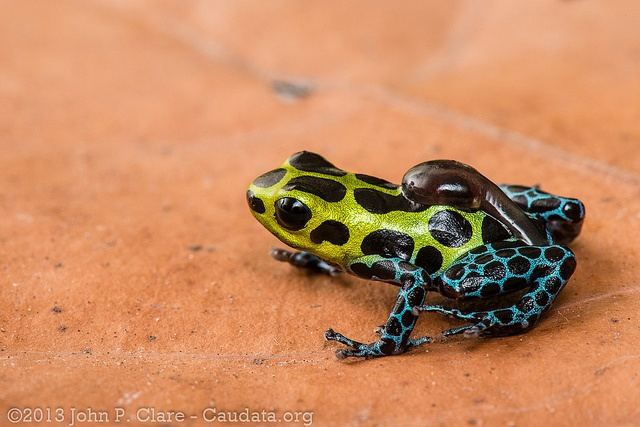 A male splash-back poison frog transports each tadpole to a pool to grow up