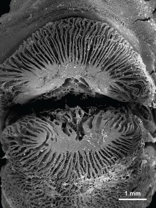 Lips of Labropsis australis bear lamellae