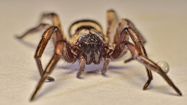 Ground spider captures prey with sticky threads