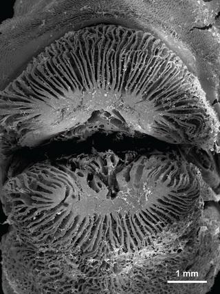Labropsis australis: lippen met lamellen