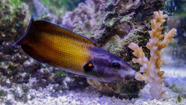 Lipvis Labropsis australis kust het koraal om ervan te eten