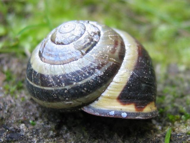 huisje van gewone tuinslak kapselt parasitaire wormpjes in