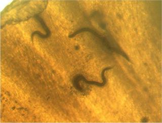rondwormpjes aan het slakkenhuis geplakt