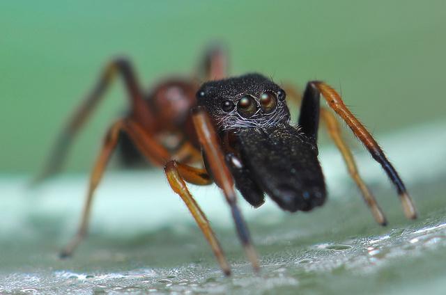bosmierspringspin Myrmarachne formicaria aapt een mier na