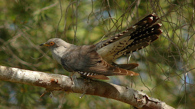 female cuckoo vocally mimics a hawk