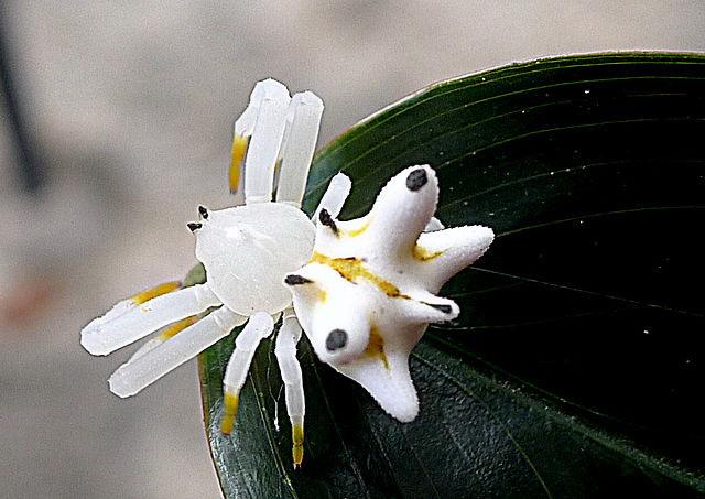 krabspin is vermomd als bloemetje