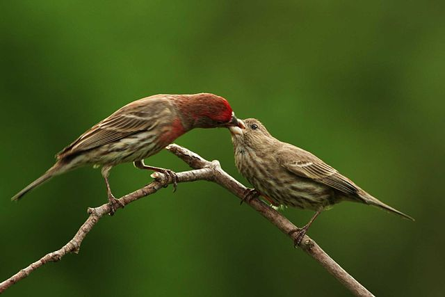 House finches add cigarette butts to their nests to repel parasites
