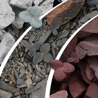 Corydalis hemidicentra: drie kleuren steen, drie bladkleuren
