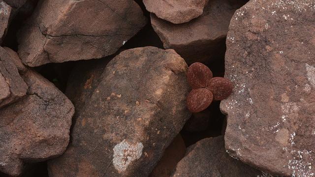 Helmbloem Corydalis hemidicentra heeft de kleur van de stenige ondergrond